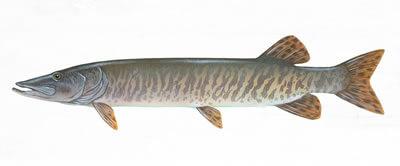 Muskie fisheries - Lake St Clair