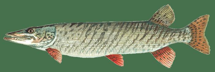Musky Fish - Muskellunge fish