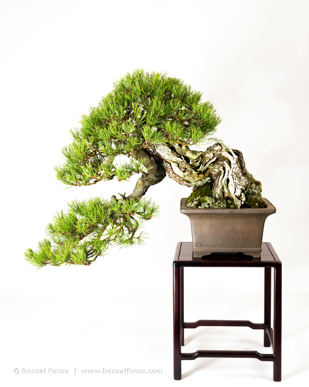 Han Kengai Half Cascade Style Bonsai Today