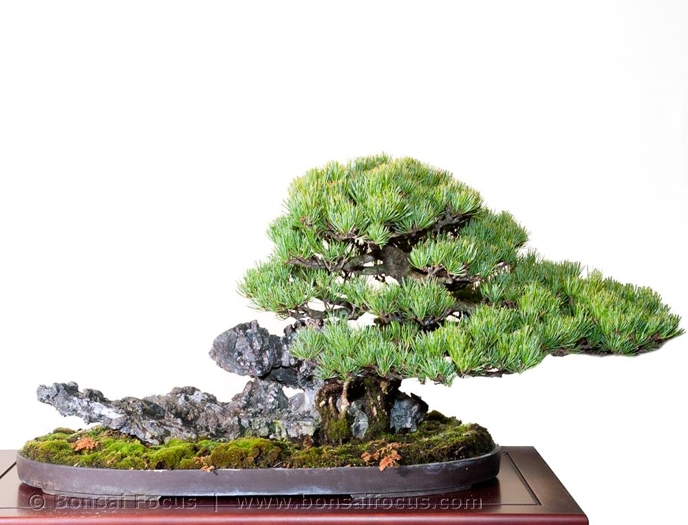 Seki Joju Root Over Rock Style Bonsai Today