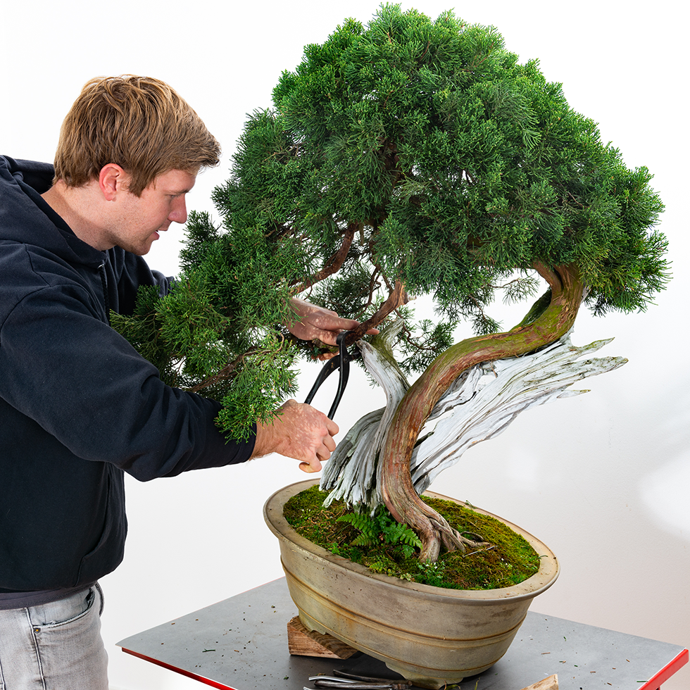 Bjorn Bjorholm Juniperus Chinensis 022 Bonsai Today
