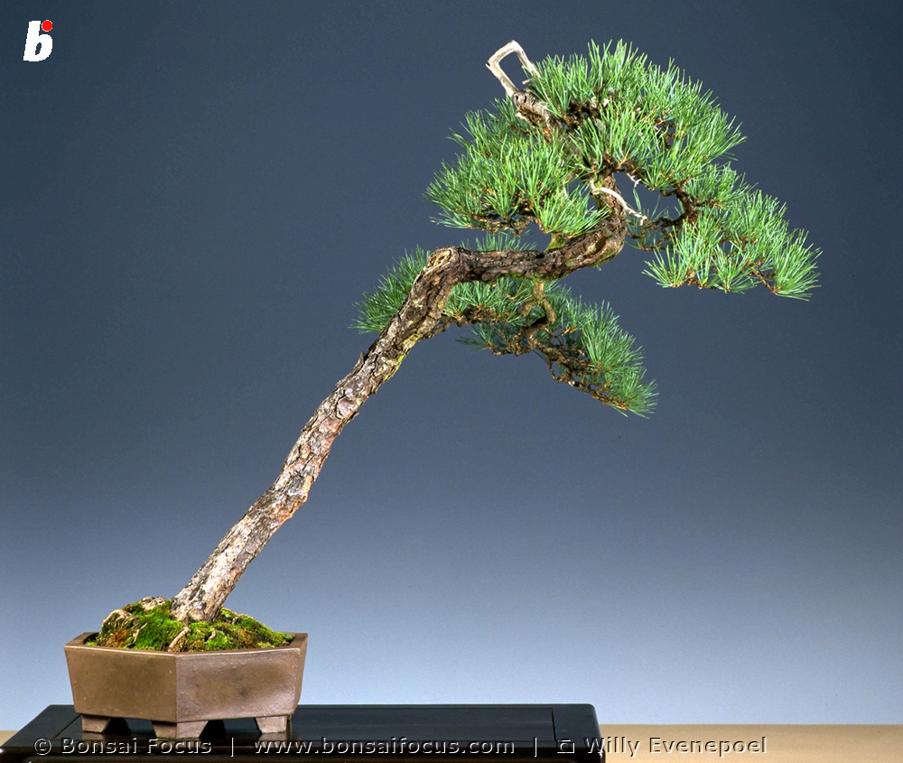 Ga 97 80 Bonsai Pinus Sylvestris Bonsai Today