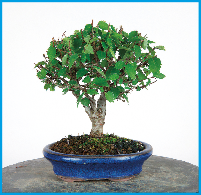 Bonsai Today Page 5 Online Magazine For Beginners And Experts
