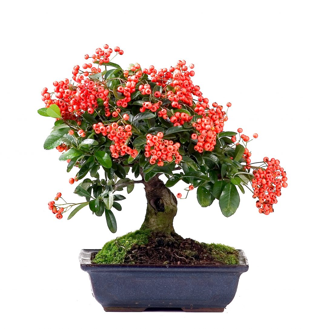 Cotoneaster Bonsai Today