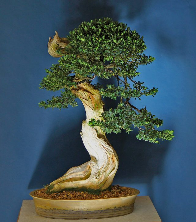 Bonsai Today Online Magazine For Beginners And Experts