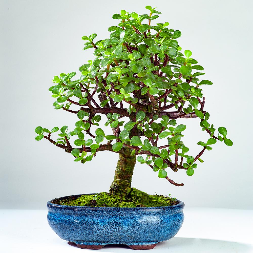 The Jade Tree Bonsai Today