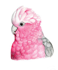 A watercolour painting of a galah