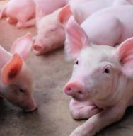 Carrefour cumpre em 2020 metas de bem-estar de suínos