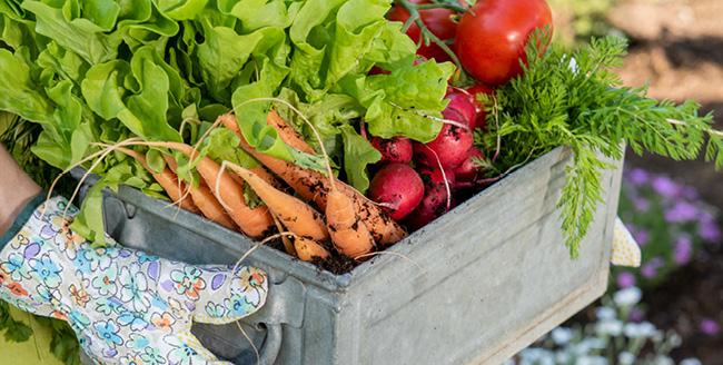 Pequeno produtor carrega uma cesta cheia de orgânicos frescos.