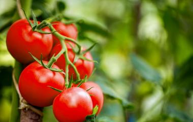 Frutos de tomate frescos.