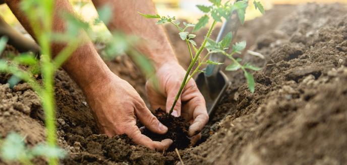Cultivo orgânico de hortaliça.