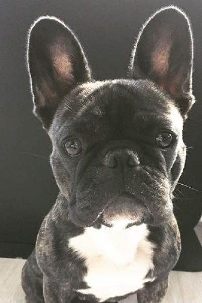 Jadey the Frenchie