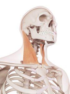 Muscle sterno cleido mastoidien