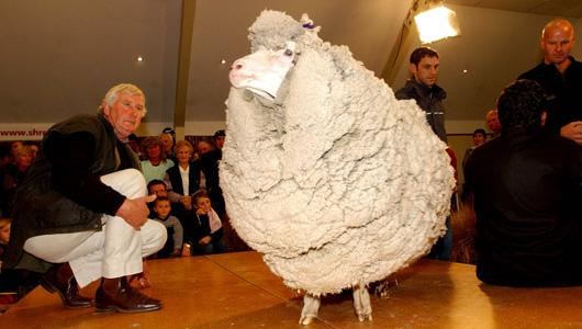 Shrek the Sheep before he was shorn!