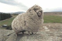 Shrek the Sheep is from New Zealand!