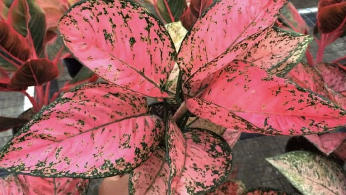 Aglaonema red peacock. Ist
