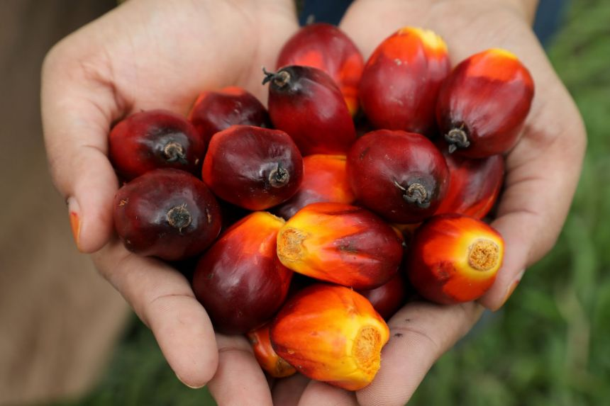 A worker shows palm oil fruits at a plantation in  Malaysia.