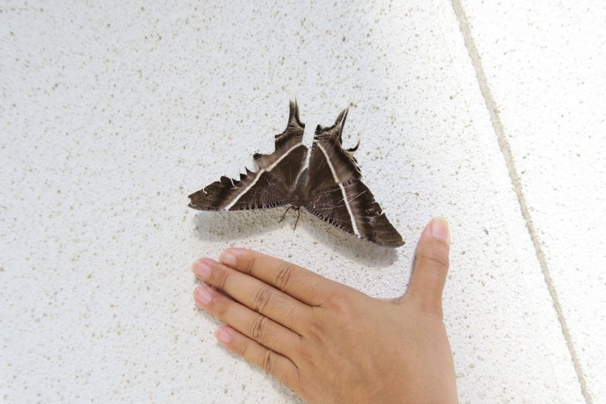 A tropical swallowtail moth spotted in Hougang on July 3. The large blackish-brown moth can have a wingspan of up to 16cm. It is the second-largest moth in Singapore, after the Atlas moth. PHOTO: SOH KAM YUNG