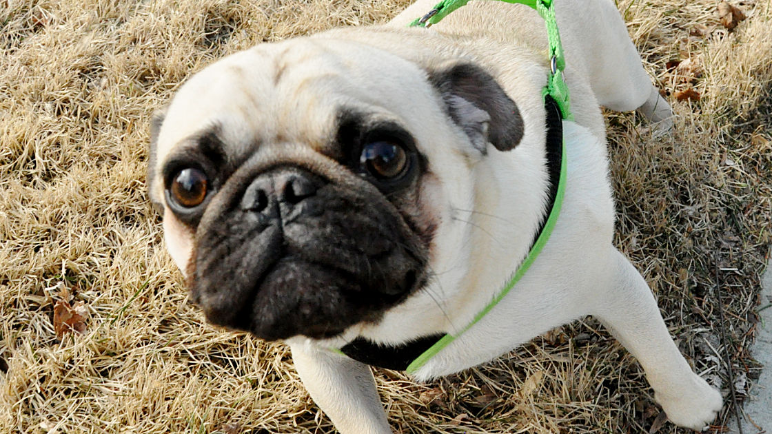 Pet of the Week: Louie the Pug