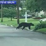black bear in Oreland