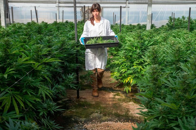 Legalizimi i kanabisit mjeksor