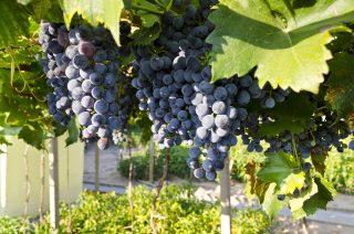 """70 % strojů ve světových vinařstvích je """"Made in Italy"""""""