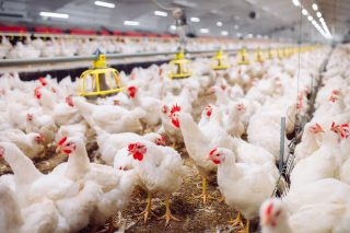 V ČR se objevila vysoce patogenní ptačí chřipka