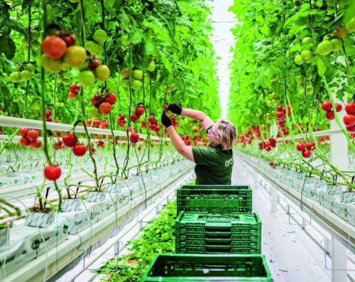Podle údajů největšího tuzemského stavitele skleníků společnosti NWT tak v Česku mezi lety 2016 a 2020 vzniklo nebo ještě vznikne celkem 53,3 hektaru skleníků pro celoroční pěstování zeleniny za 2,7 miliardy korun. Foto: archiv týdeníku Euro.
