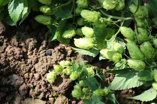 Sklizeň. Hlávky klonu 72 z Chmelařského institutu v Žatci (v dolní části obrázku) se od jiných rostlin Žateckého poloraného červeňáku liší na první pohled. Autor: Martin Pinkas/Euro.