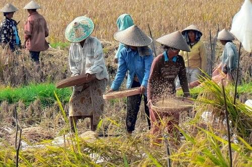 Co s přebytečnou rýžovou slámou: britští vědci z ní dělají biopalivo