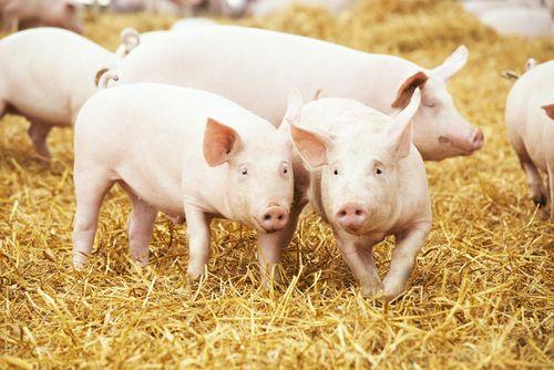 Hongkong schválil dovoz českého vepřového masa