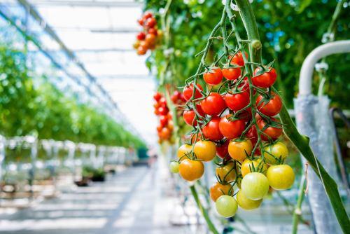 Elektrárenská rajčátka z Tušimic. Na pozemcích bývalých elektráren rostou skleníky