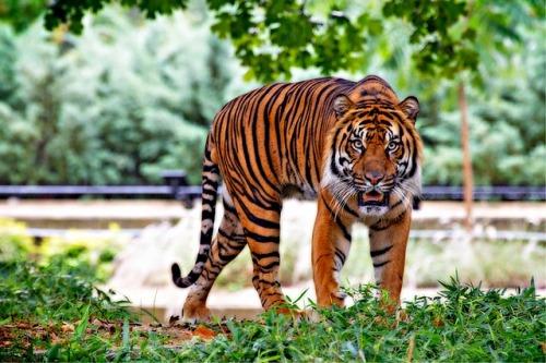 V ČR se budou zkoumat vzorky DNA tygrů – dohoda prosazena na konferenci CITES ve Švýcarsku