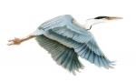 Bovano - W303 - Great Blue Heron in Flight (Small)