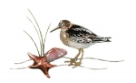 Bovano - W320A - Sandpiper and Starfish