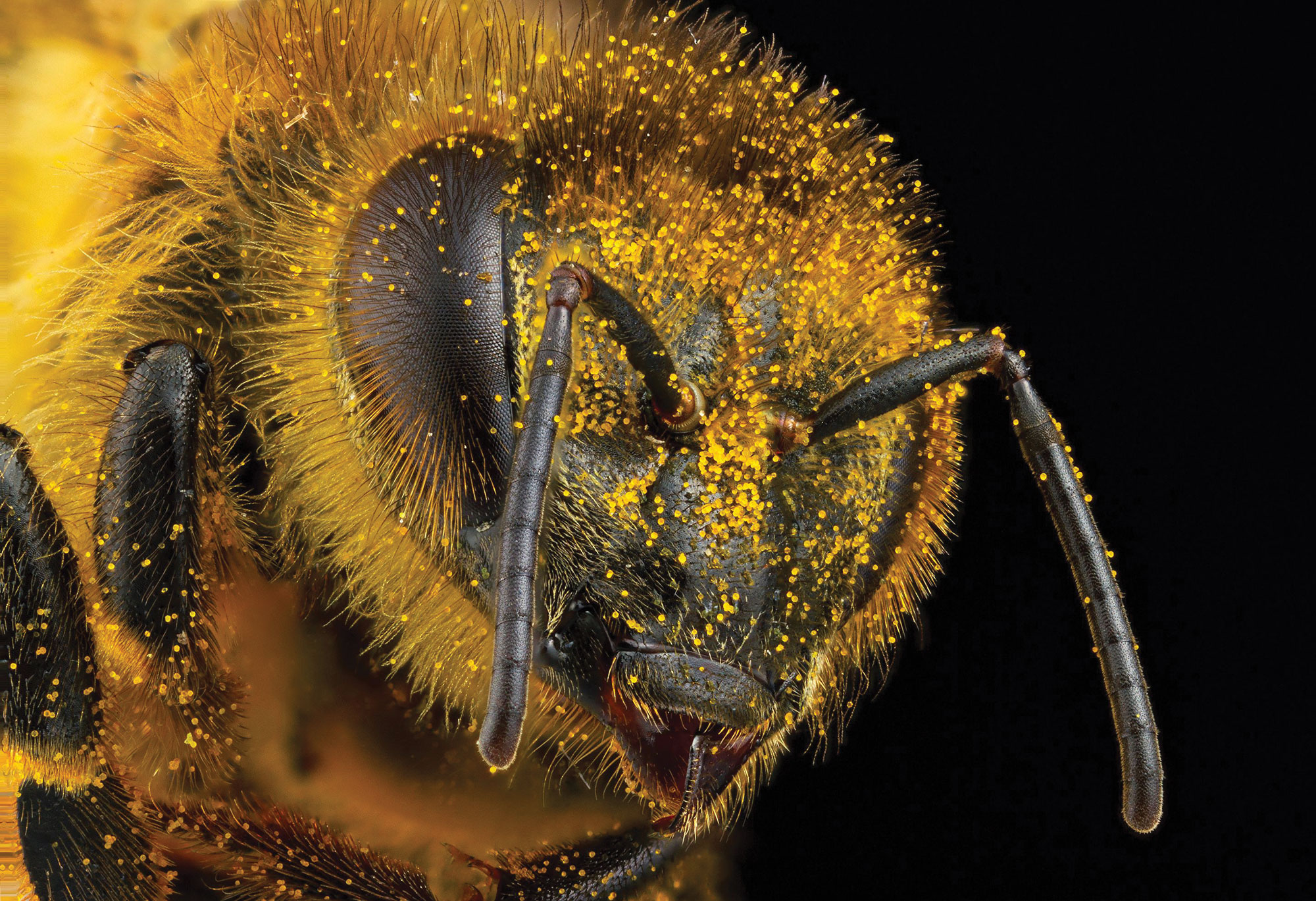 Detailed photo of a bee's head showing its eyes, antenna, and pollen-laced hair.