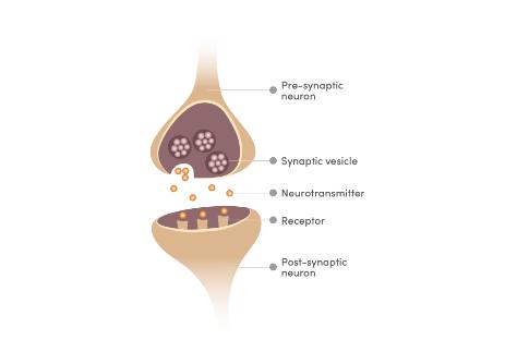 memophenol improves synaptic plasticity
