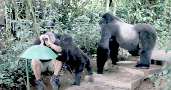 Encuentro inesperado con gorila salvaje de la montaña