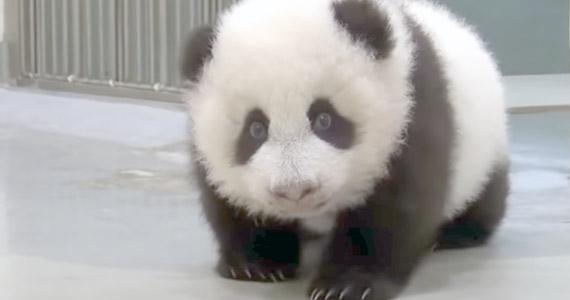 La mamá panda regaña a su bebé cuando se mete en líos