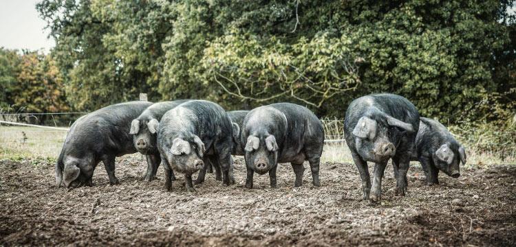 Porcs noirs