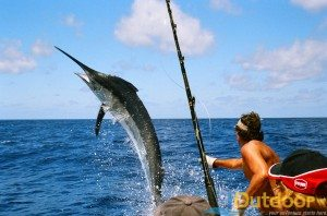 Sailfish, Marlin and Shark all for Catch and Release