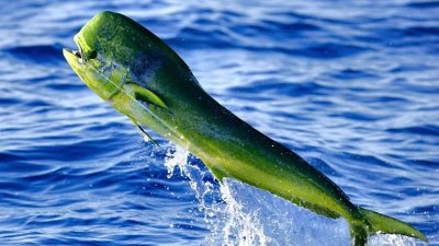 How Fast Do Dolphin Fish Grow
