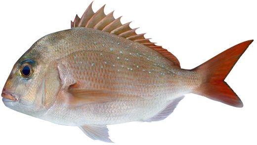 What Kind of Bait Do You Use to Catch SNAPPER in the Gulf of Mexico?