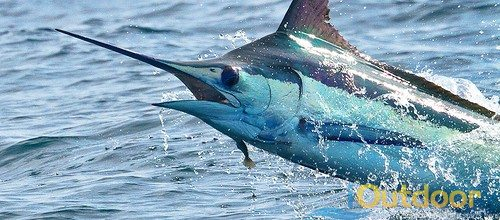 Where is the Best Place in Florida to Catch Marlin?