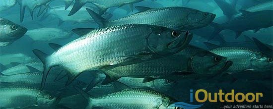 Schooling Tarpon in Migration