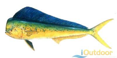 Mahi-Mahi - Know Your Fish