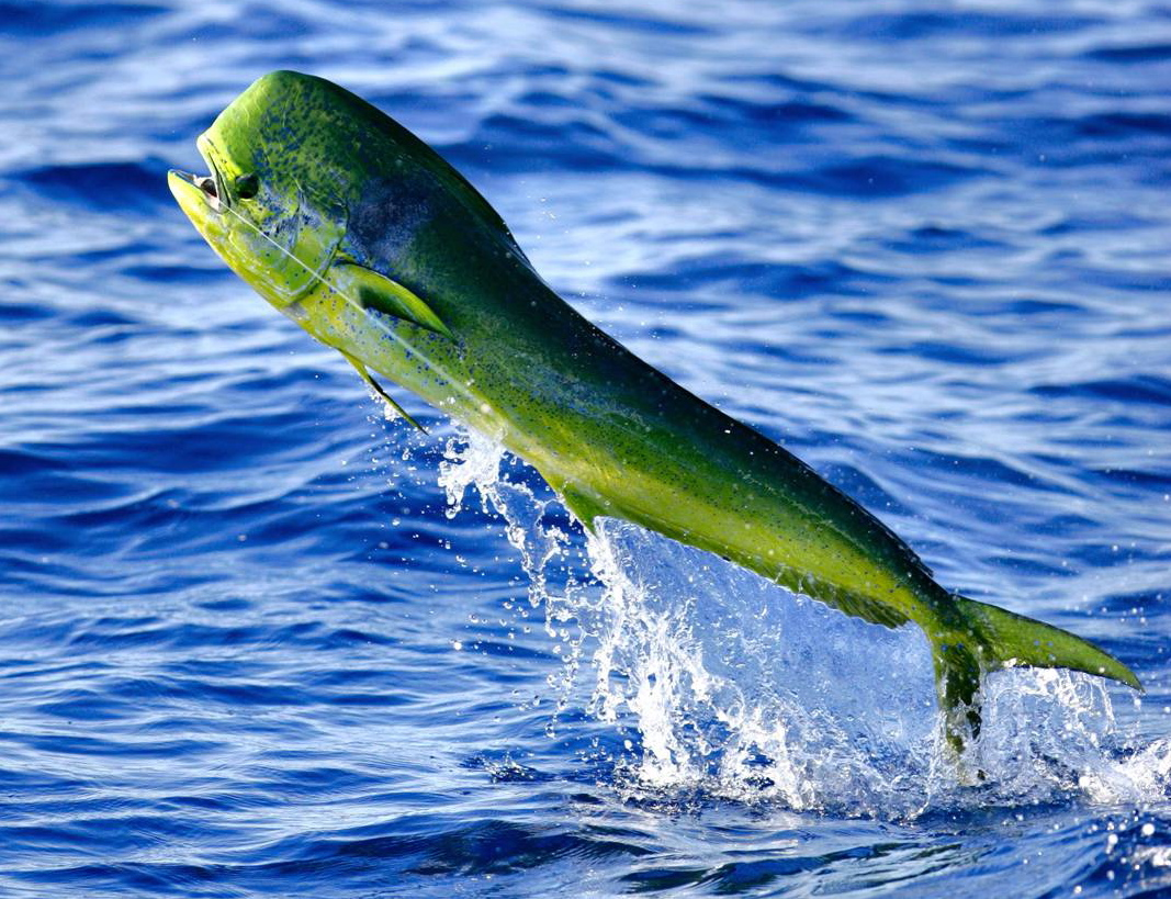 What are the best tasting fish in saltwater? mahi mahi