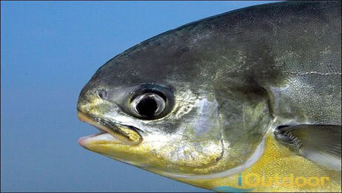 Small Mouths of Pompano Fish