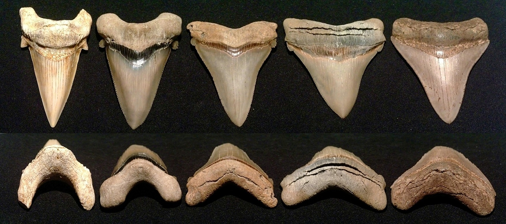 Shark Teeth Collection Facts