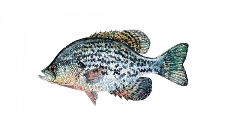 Crappie - florida's all star lineup